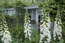 White foxgloves by summerhouse
