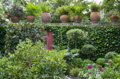 Terracotta containers on ivy-covered wall, standard clipped trees