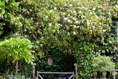 Shrubs, ivy and standard wisteria in town garden