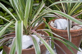 Phormiums in terracotta containers