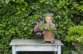 Classical head in container with Oxalis articulata, table, ivy covered wall, pot feet