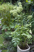 Angelica archangelica and bamboo in containers