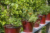 Red buckets planted with tomatoes