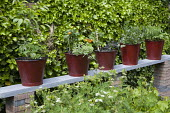 Red fire buckets planted with tomatoes, broad beans and mint