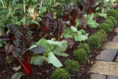 Beetroot and lettuce in potager, box ball edging