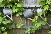 Watering cans hanging on fence, vine, storage