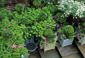 Clipped topiary standards in containers