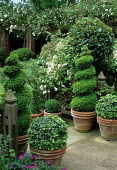 Box spirals and ivy topiary in terracotta containers