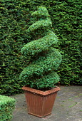 Spiral Buxus sempervirens in terracotta container, yew hedge