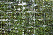 Ivy in metal wall, living green wall