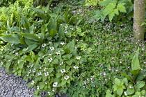 Woodland planting with Cornus canadensis and Thalictrum kiusianum