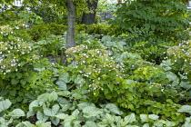 Woodland planting, hydrangeas, Brunnera macrophylla 'Jack Frost'