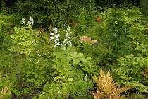 Woodland planting, campanulas, rodgersia, ferns