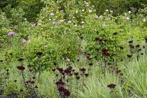Dianthus barbatus 'Sooty', Rosa 'Esther'