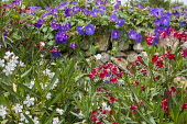 Morning glory and Nerium oleander