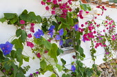 Morning glory and bougainvillea