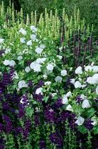Salvia horminum 'Blue Beard', Lavatera 'Mont Blanc'