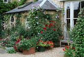 Dahlias and petunias in containers on gravel terrace by house, Eucomis bicolour