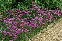 Allium schoenoprasum, stone edging