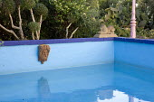 Swimming pool, mask, lion ornament, cloud-pruned wild olive
