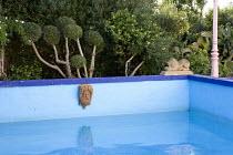 Swimming pool, terracotta mask, cloud-pruned wild olive tree