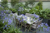 Table and chairs, Agapanthus africanus in containers
