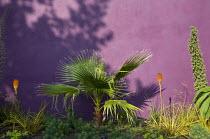 Washingtonia filifera, kniphofia, echium, purple wall