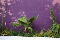 Raised bed, Washingtonia filifera, kniphofia, echium, purple wall