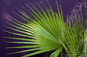 Washingtonia filifera, purple wall