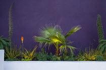 Washingtonia filifera, kniphofia, echium, purple painted wall