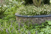 Circular brick raised bed around tree underplanted with Erigeron karvinskianus, Liriope muscari