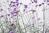 Verbena bonariensis against white painted wall