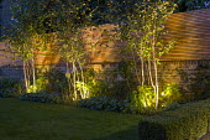 Up lit multi-stemmed Silver birch trees