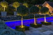 Up lit Elaeagnus x ebbingei and prunus standards, blue florescent lighting against low wall