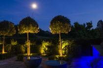 Up lit Elaeagnus x ebbingei standards by moonlight