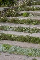 Erigeron karvinskianus growing in cracks up stone stairs