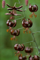 Lilium martagon var cattaniae 'The Moor'