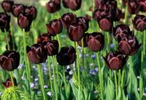 Tulipa 'Queen of Night', myosotis