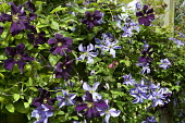 Clematis 'Romantika' and Clematis 'Prince Charles'