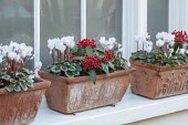 Cyclamen and Skimmia japonica subsp. reevesiana  in window boxes