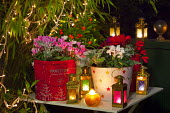 Christmas lanterns on table, cyclamen in containers, fairy lights
