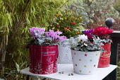 Cyclamen in recycled tin cans, lantern, table