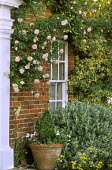 Rambling Rosa 'Albertine' climbing on wall by front door, box cone in container, brachyglottis