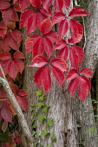 Virginia creeper and ivy climbing on tree trunk