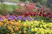 Colourful dahlia border, cotinus