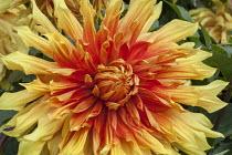 Dahlia 'Autumn Sunburst'