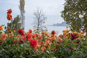Dahlia border by Bodensee