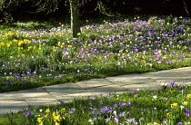 Naturalised Crocus vernus and Narcissus pseudonarcissus, stone path