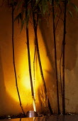 Up lit bamboos in raised bed, silhouettes