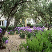 Front yard garden in Brentwood, CA designed by Mia Lehrer, olive grove, Bearded iris, French lavender, gravel